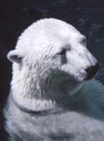 Urso em momento de reflexão