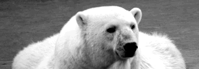 Urso Branco cai na malha fina e canta que nem passarinho!